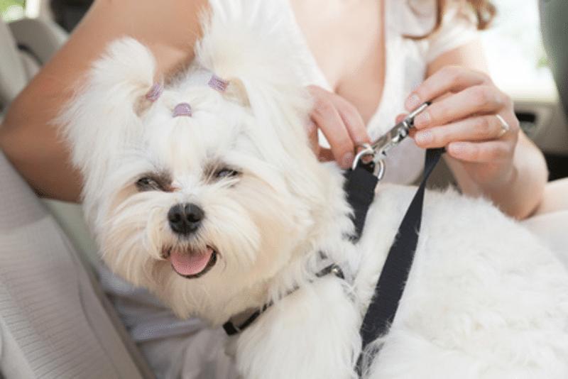 Sicherheitsgurt-Hunde
